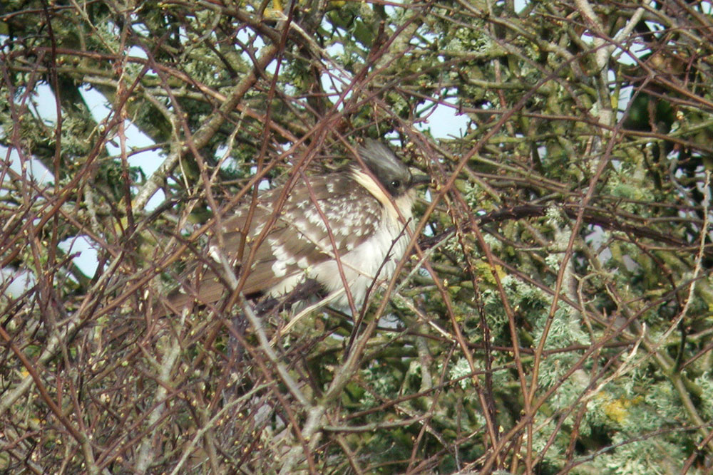 Great Spotted Cuckoo, Co. Wexford, Ireland.