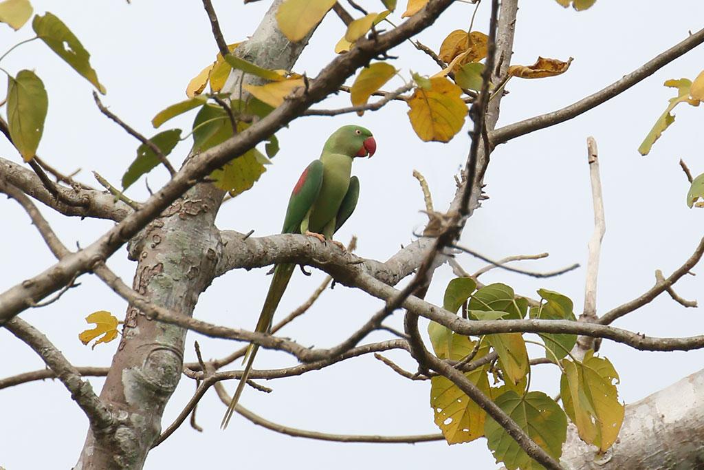 Alexandrine Parakeet (Psittacula eupatria), Ta Prohm Temple, near Siem Reap, Cambodia.