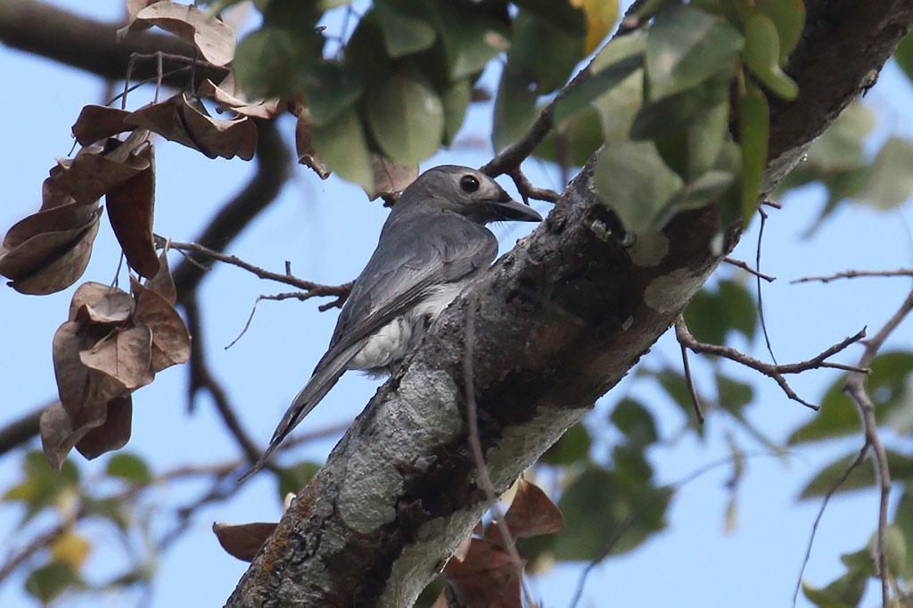 Ashy Drongo (Dicrurus leucophaeus), Angkor Wat, Siem Reap, Cambodia.