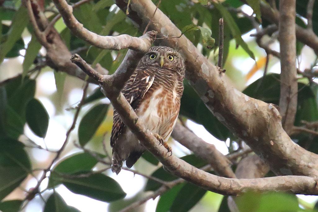 Asian Barred Owlet (Glaucidium cuculoides), Ta Prohm Temple, near Siem Reap, Cambodia.
