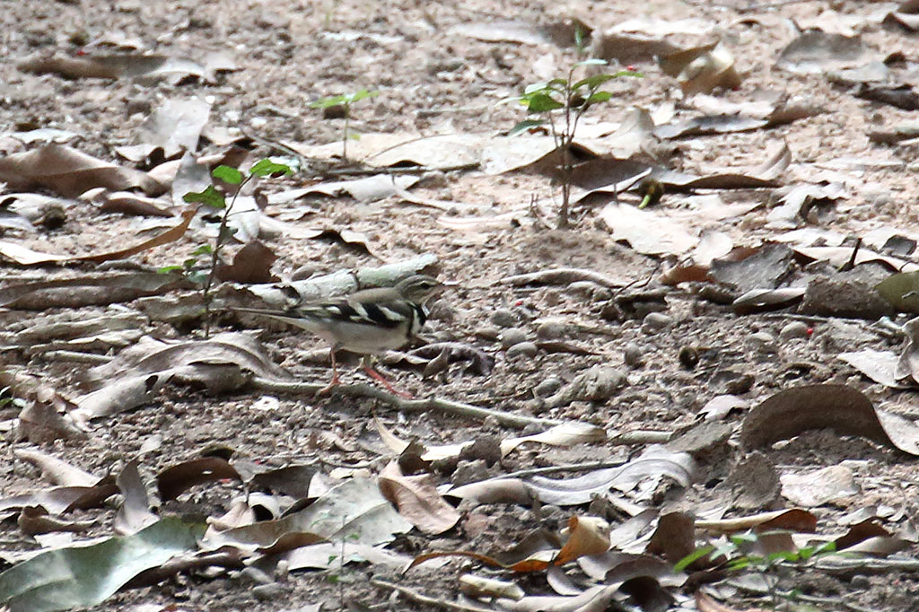 Forest Wagtail (Dendronanthus indicus), Ta Prohm Temple, near Siem Reap, Cambodia.