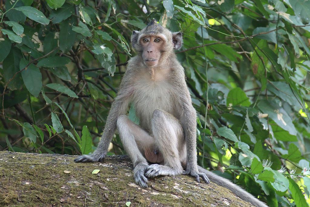 Long-tailed Macaque, Angkor Wat, Cambodia.