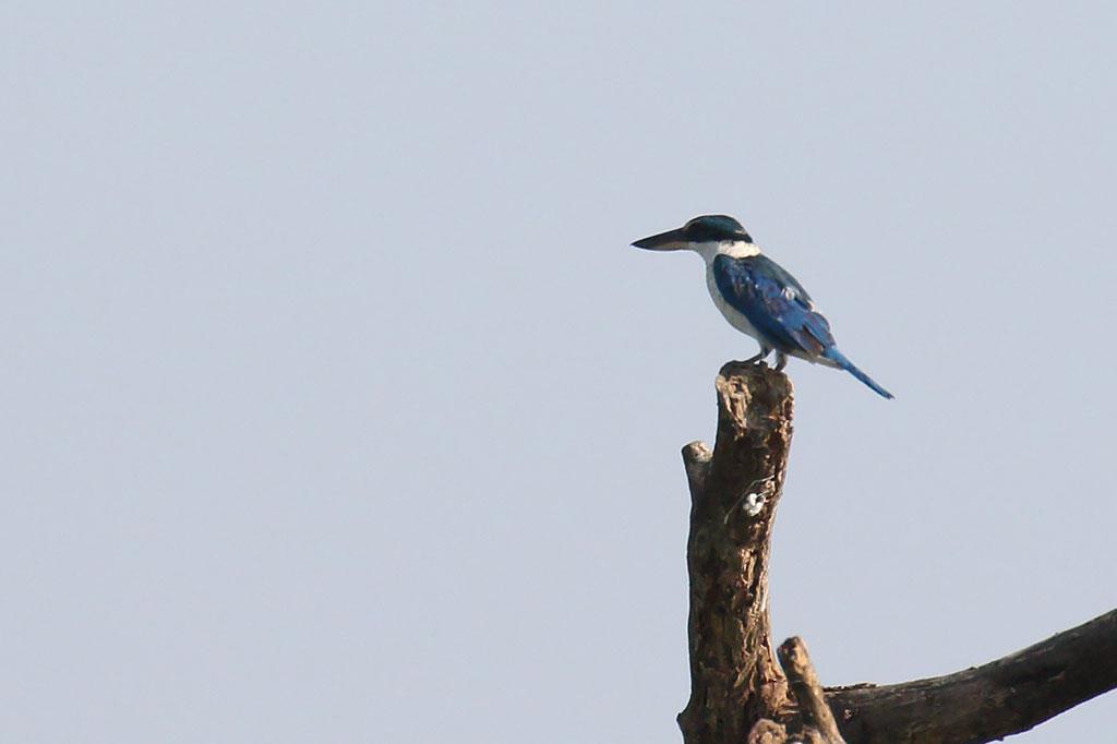 Collared Kingfisher (Todiramphus chloris), Tonle Sap Lake, near Prek Toal, Cambodia.