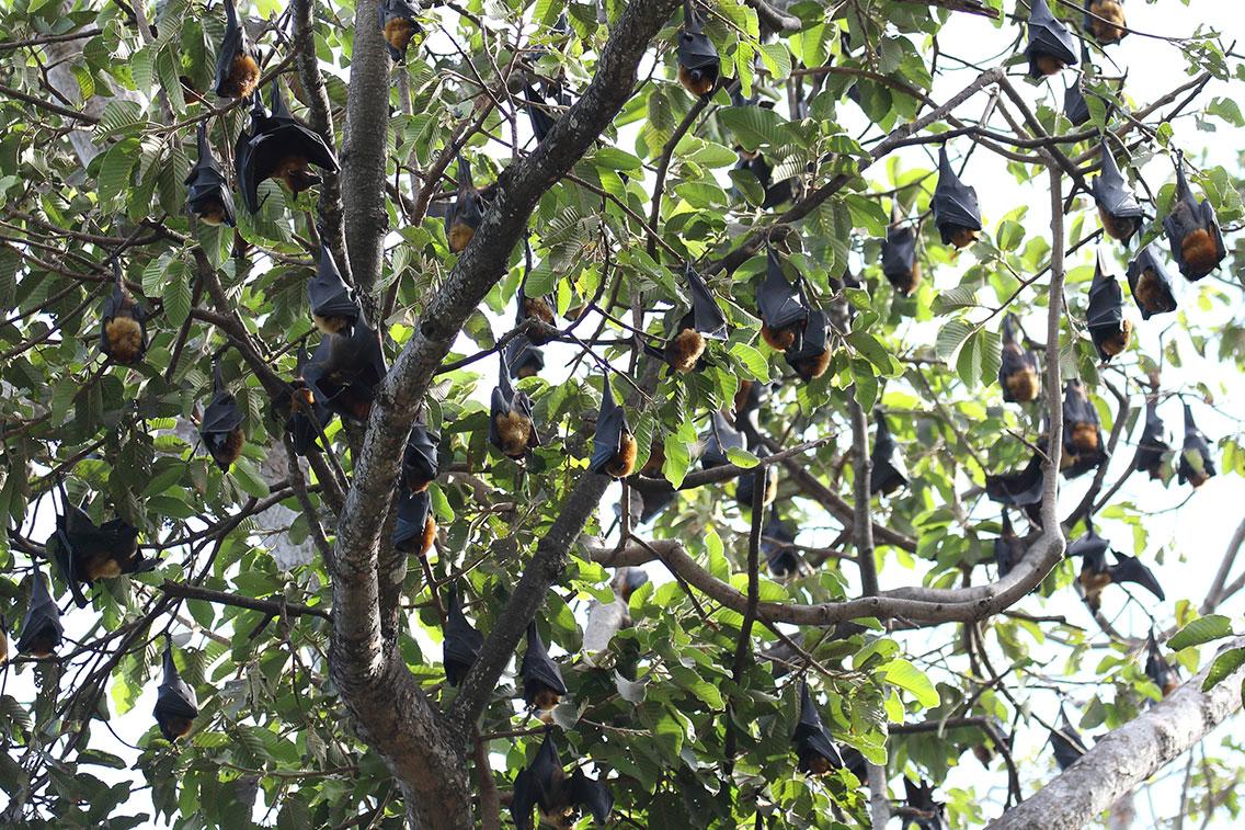 Fruit Bat colony, Siem Reap, Cambodia.