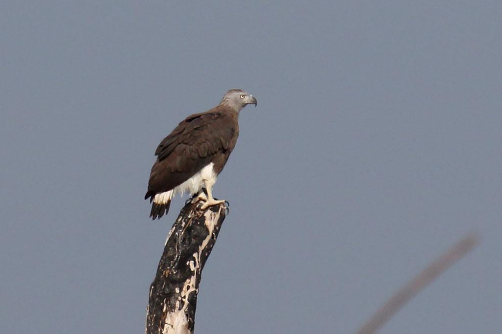 Grey-headed Fish Eagle (Haliaeetus ichthyaetus), Tonle Sap Lake, near Prek Toal, Cambodia.