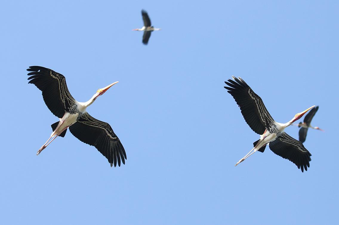 Painted Stork (Mycteria leucocephala), Tonle Sap Lake, near Prek Toal, Cambodia.