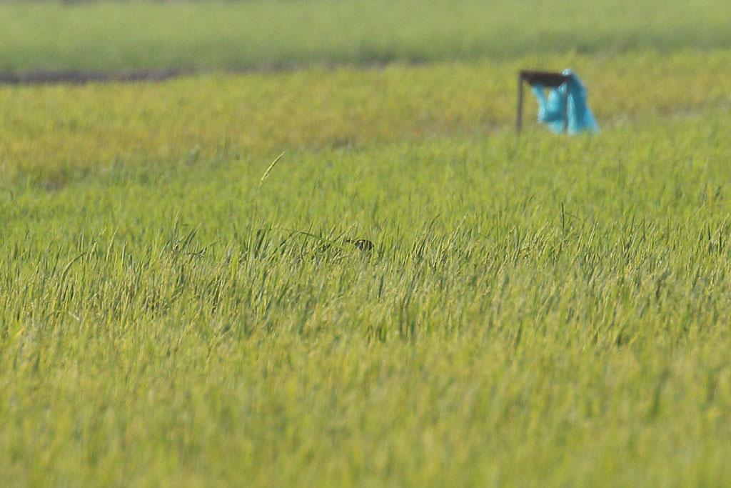 Bengal Florican (Houbaropsis bengalensis), Florican grasslands, near Kampong Kdei, Cambodia.