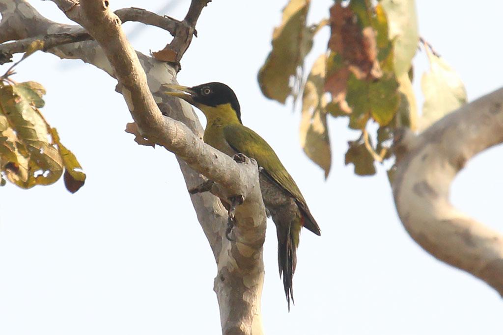 Black-headed Woodpecker (Picus erythropygius), Near Tmatboey, Preah Vihear Province, Cambodia.