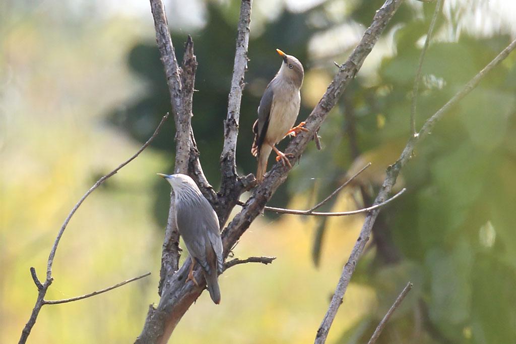 Chestnut-tailed Starling (Sturnia malabarica), Near Tmatboey, Preah Vihear Province, Cambodia.