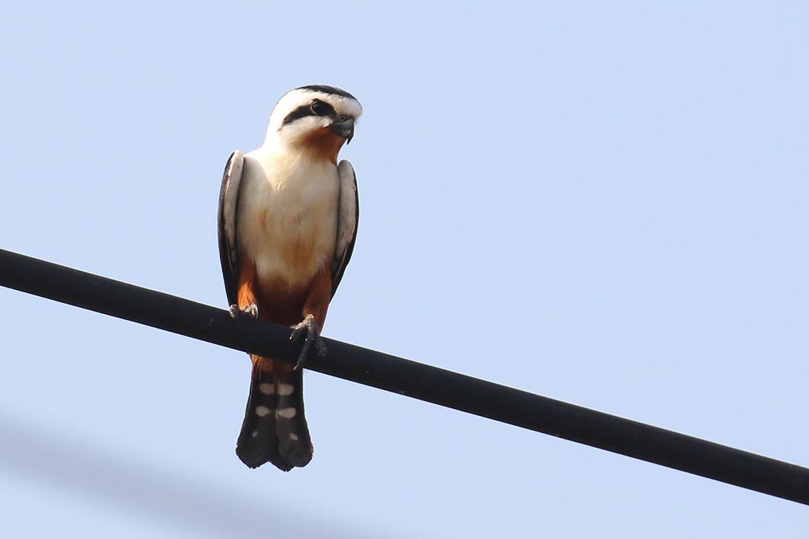 Collared Falconet (Microhierax caerulescens), Near Tmatboey, Preah Vihear Province, Cambodia.