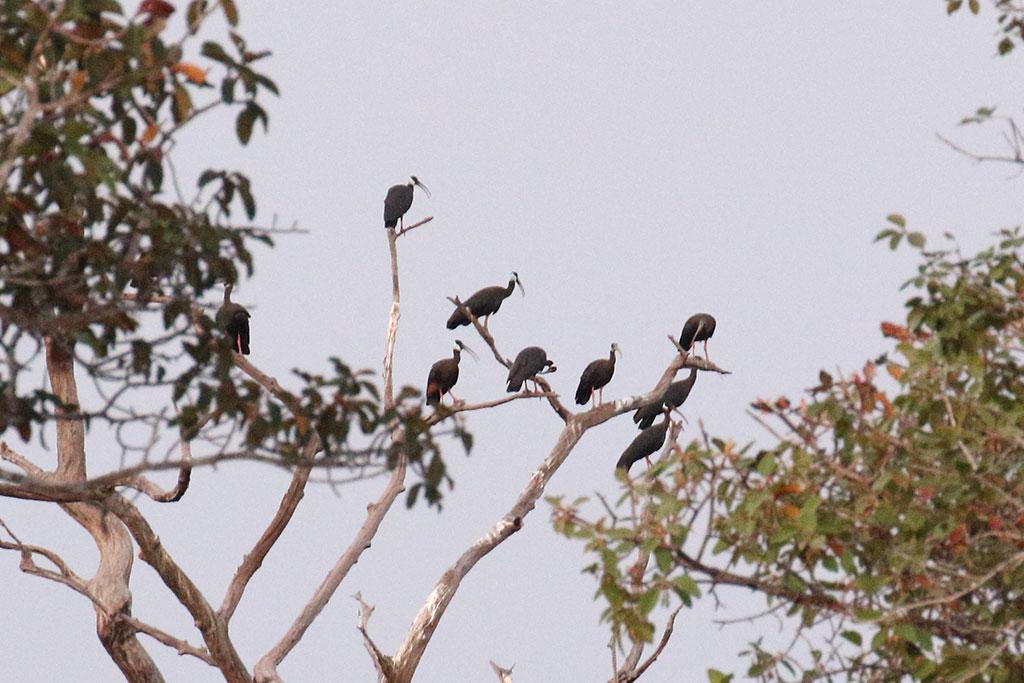 White-shouldered Ibis (Pseudibis davisoni), Near Tmatboey, Preah Vihear  Province, Cambodia.