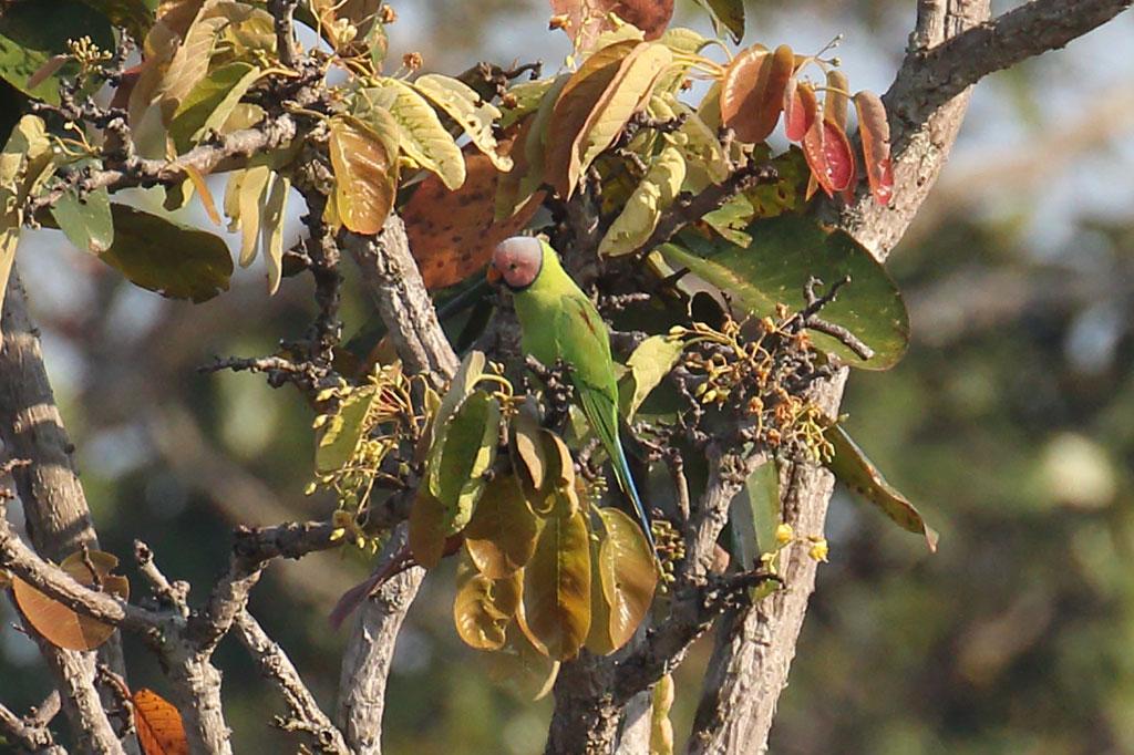 Blossom-headed Parakeet (Psittacula roseata), Tmatboey Forest, Preah Vihear Province, Cambodia.