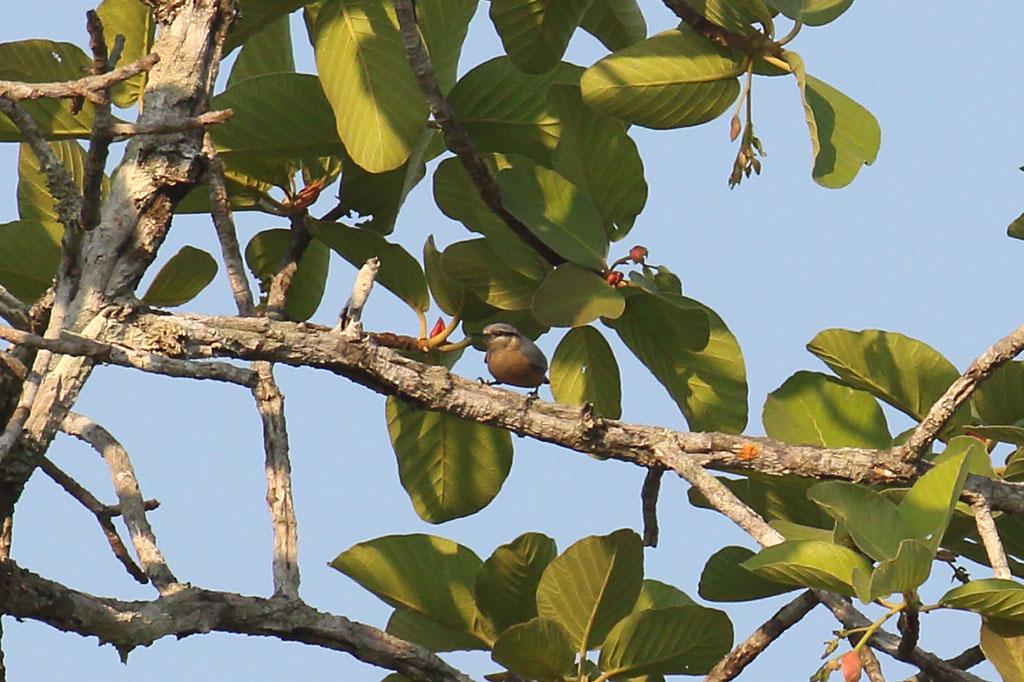 Burmese Nuthatch (Sitta neglecta), Tmatboey Forest, Preah Vihear Province, Cambodia.