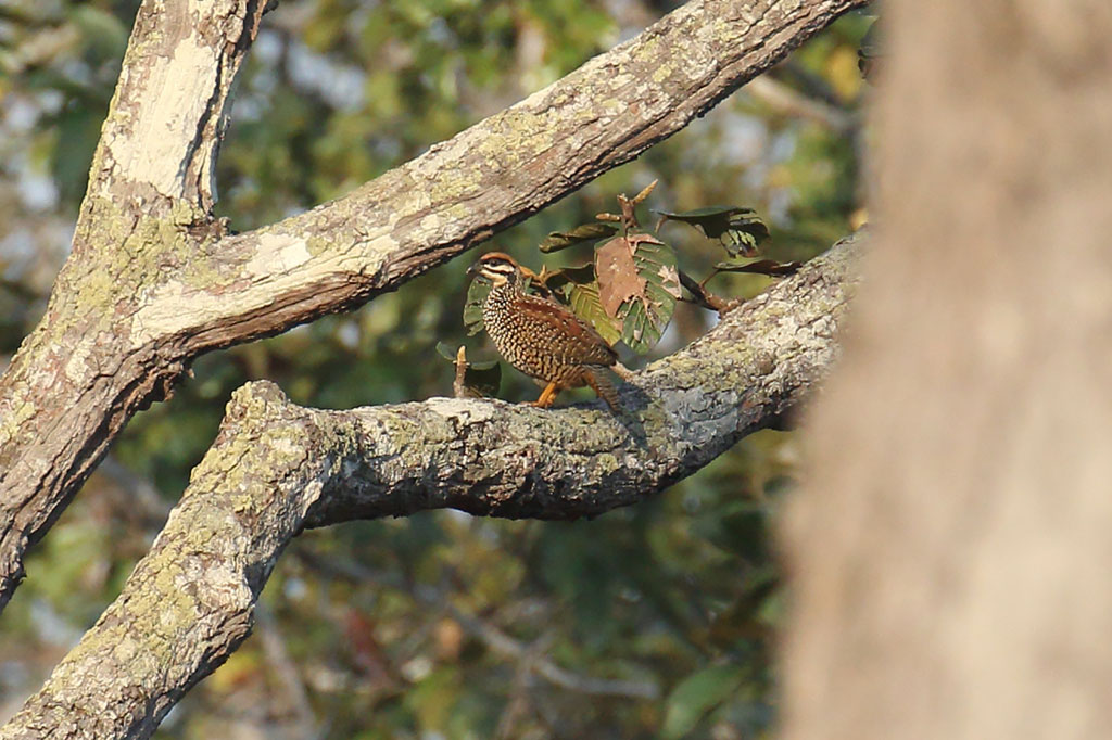 Chinese Francolin (Francolinus pintadeanus), Tmatboey Forest, Preah Vihear Province, Cambodia.