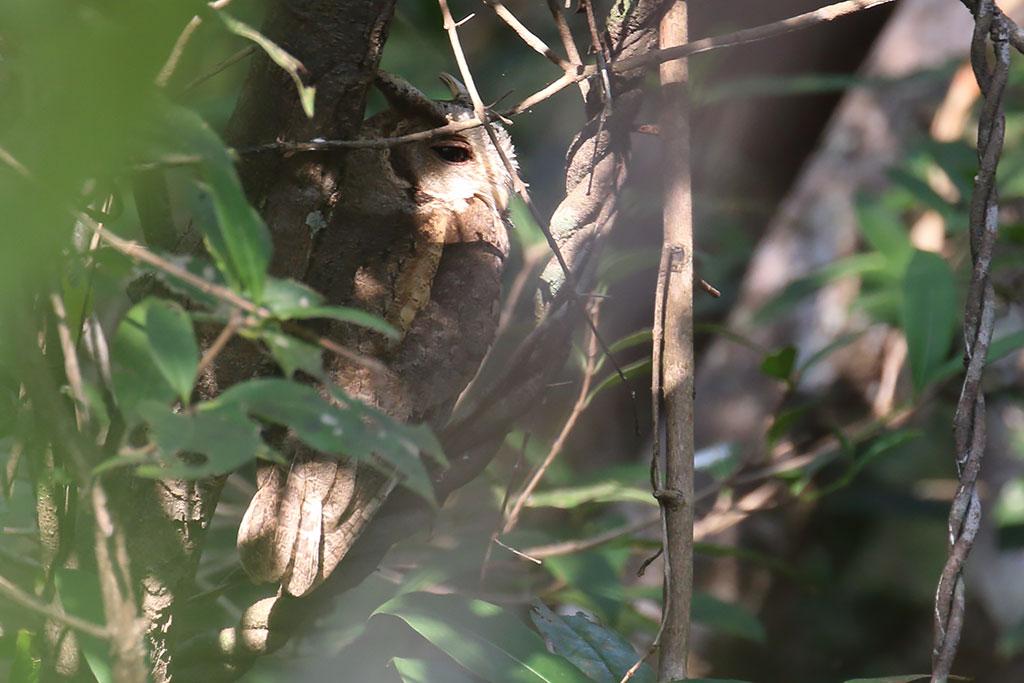 Collared Scops Owl (Otus lettia), Tmatboey Forest, Preah Vihear Province, Cambodia.