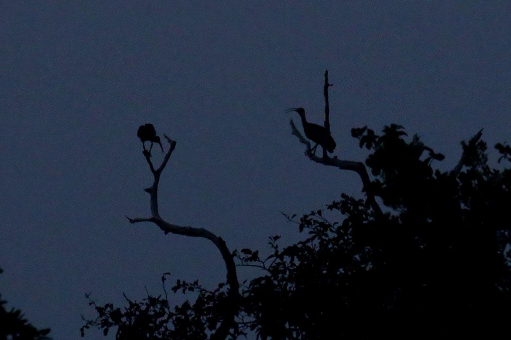 Giant Ibis (Thaumatibis gigantea), Tmatboey Forest, Preah Vihear Province, Cambodia.