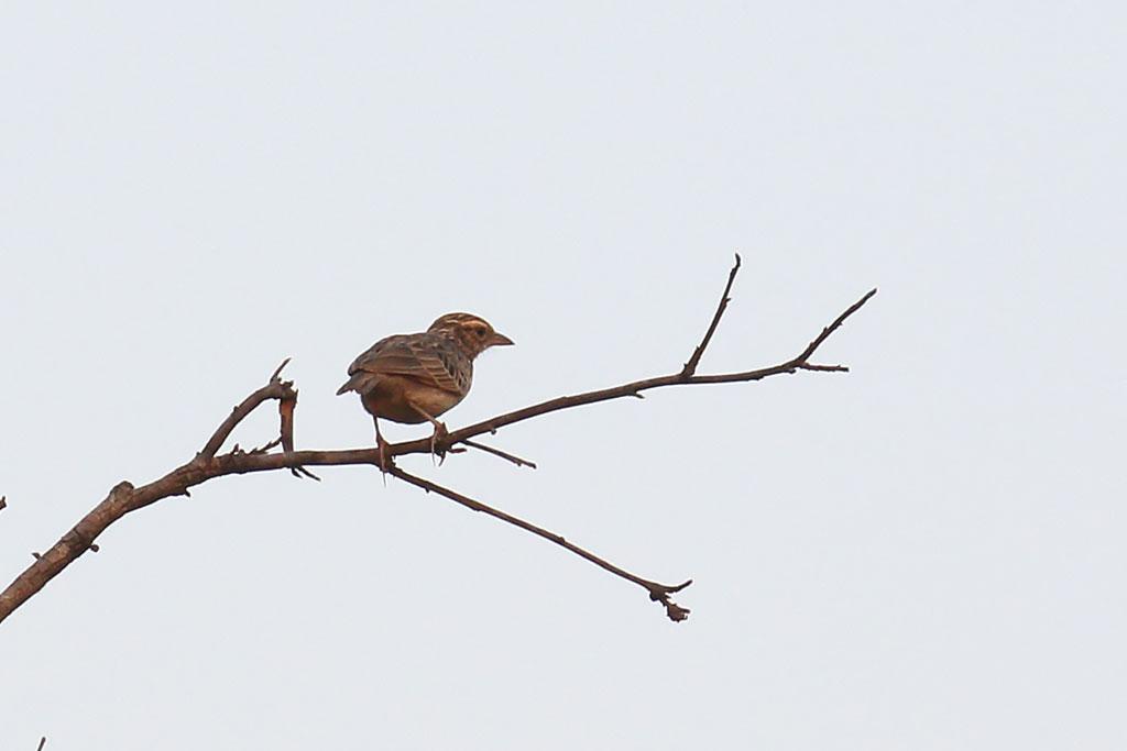 Indochinese Bushlark (Mirafra erythrocephala), Tmatboey Forest, Preah Vihear Province, Cambodia.