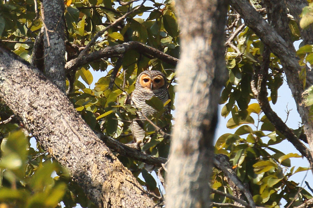 Spotted Wood Owl (Strix seloputo), Tmatboey Forest, Preah Vihear Province, Cambodia.