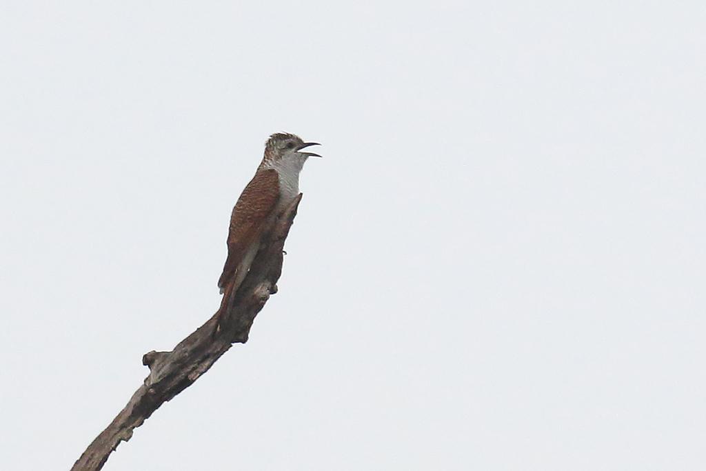 Banded Bay Cuckoo (Cacomantis sonneratii), Tmatboey Forest, Preah Vihear Province, Cambodia.