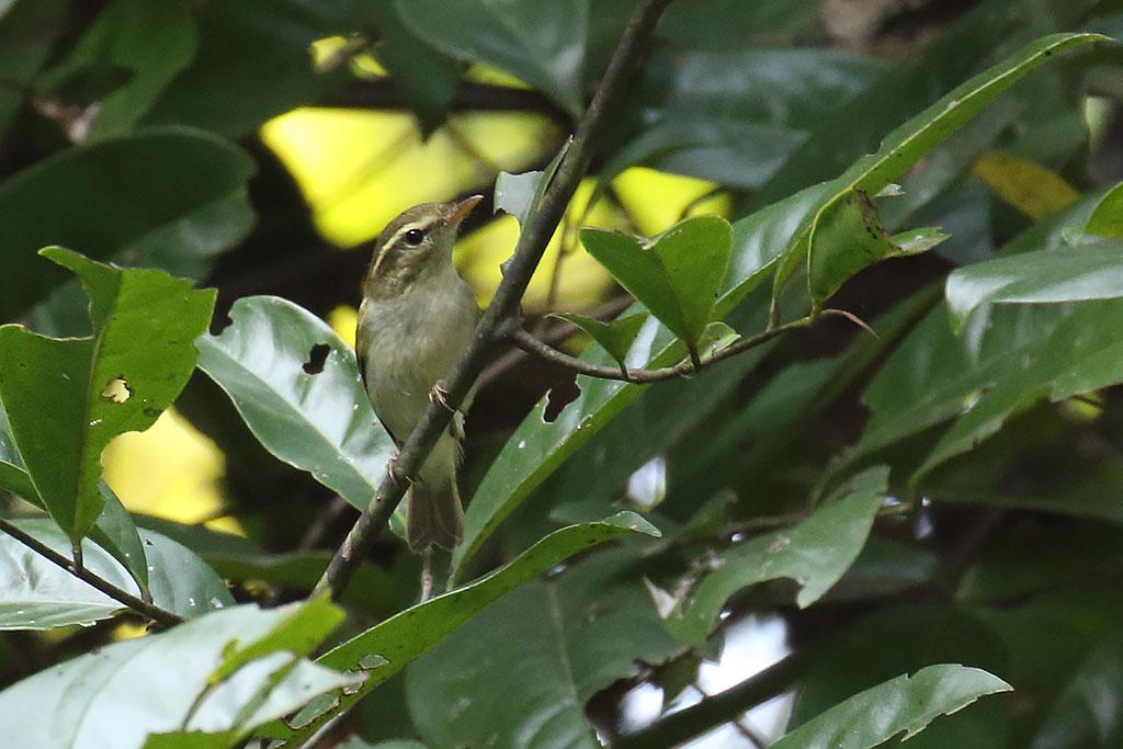 Pale-legged Leaf Warbler (Phylloscopus tenellipes), Tmatboey Forest, Preah Vihear Province, Cambodia.