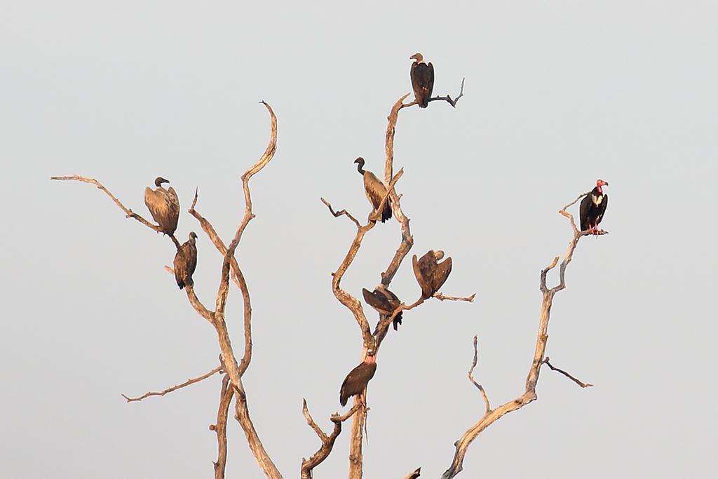 Slender-billed Vulture (Gyps tenuirostris), Boeng Toal, Preah Vihear Province, Cambodia.