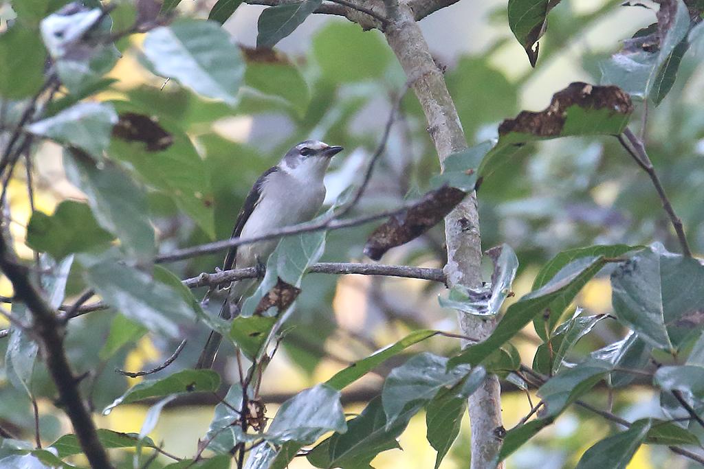 Swinhoe's Minivet (Pericrocotus cantonensis), Tmatboey Forest, Preah Vihear  Province, Cambodia.