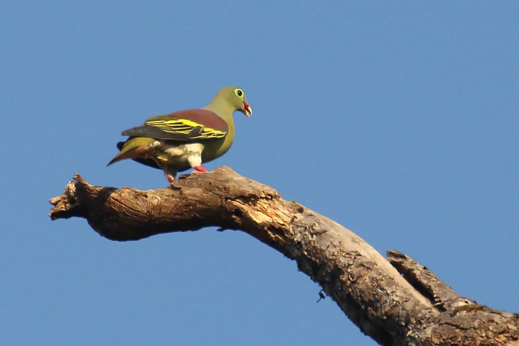 Thick-billed Green Pigeon (Treron curvirostra), Tmatboey Forest, Preah Vihear Province, Cambodia.
