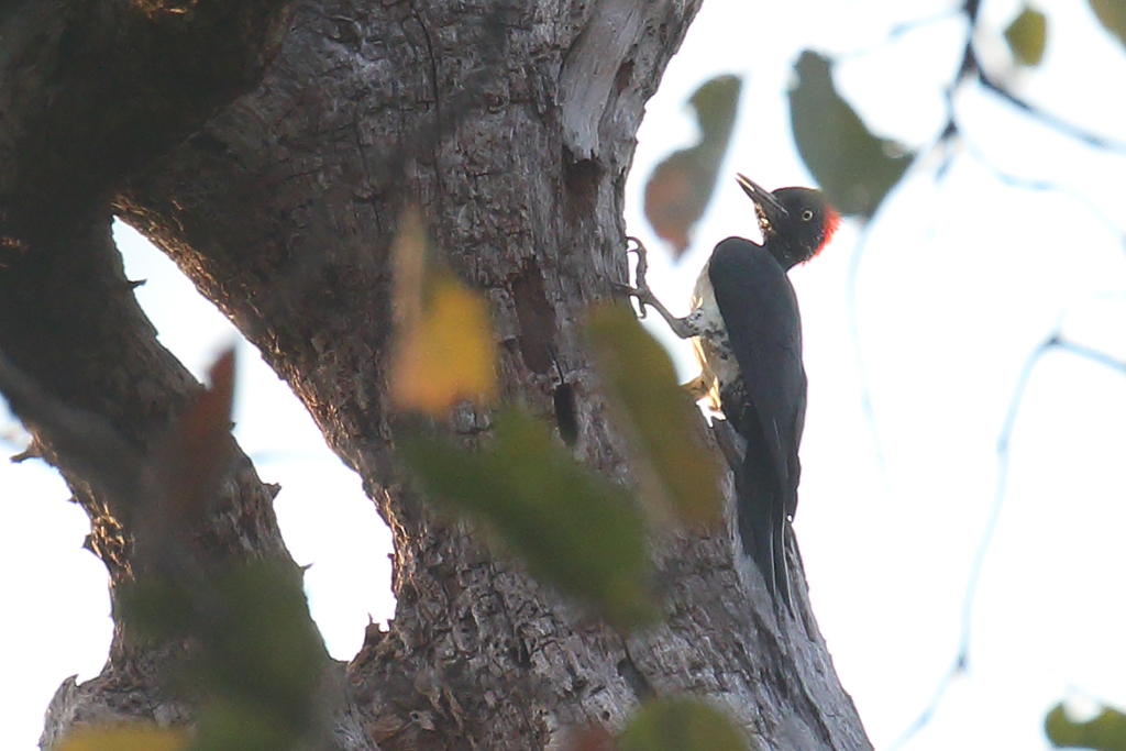 White-bellied Woodpecker (Dryocopus javensis), Tmatboey Forest, Preah Vihear Province, Cambodia.