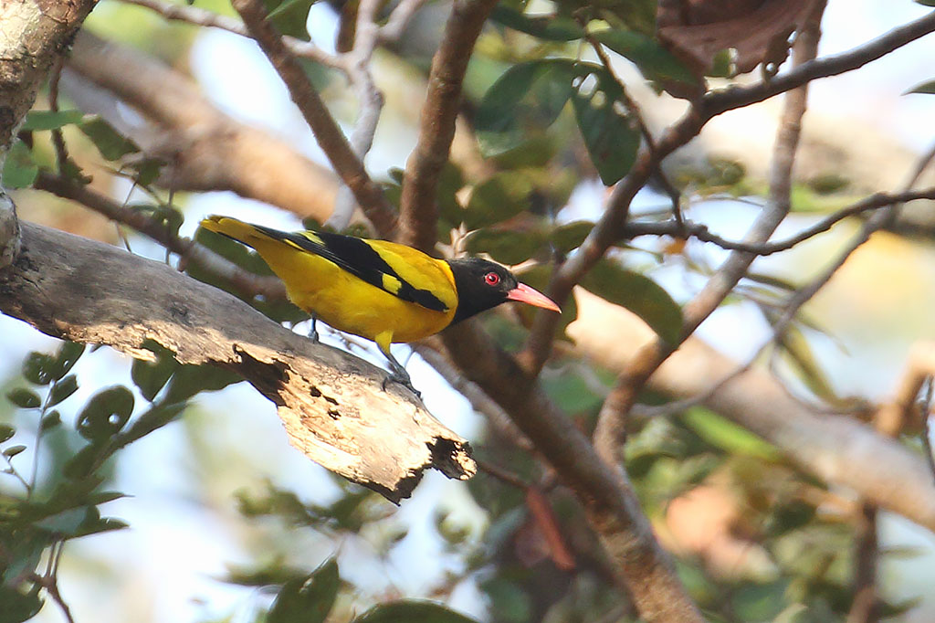 Black-hooded Oriole (Oriolus xanthornus), Boeng Toal, Preah Vihear Province, Cambodia.