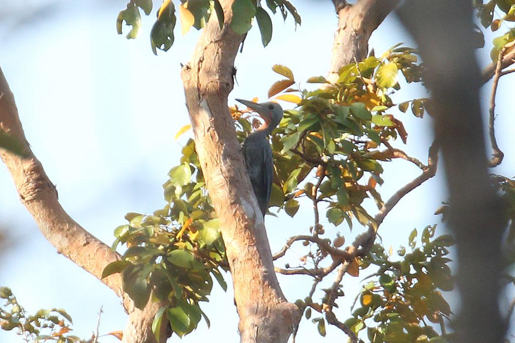 Great Slaty Woodpecker (Mulleripicus pulverulentus), Boeng Toal, Preah Vihear Province, Cambodia.