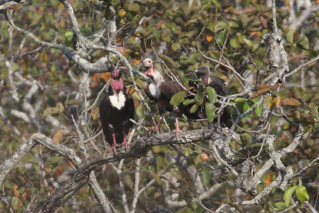Red-headed Vulture (Sarcogyps calvus), Boeng Toal, Preah Vihear Province, Cambodia.