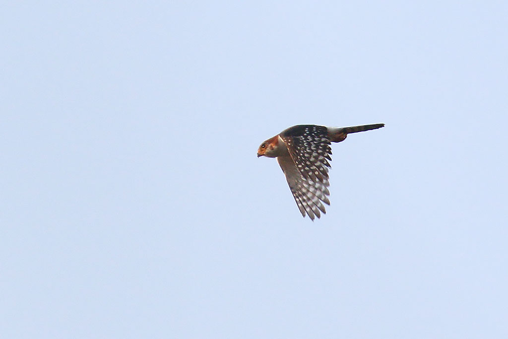 White-rumped Falcon (Polihierax insignis), Boeng Toal, Preah Vihear Province, Cambodia.