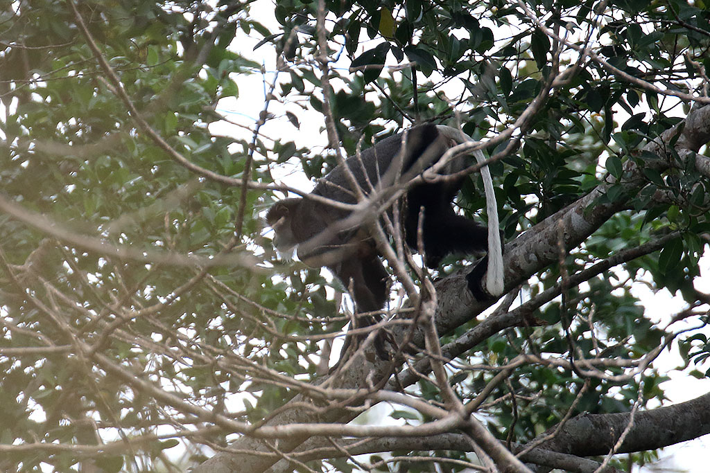 Black-shanked Douc monkey, Keo Seima Forest, Cambodia.