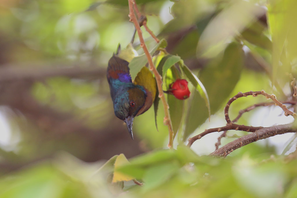 Brown-throated Sunbird (Anthreptes malacensis), Mekong River, Kampi, Cambodia.