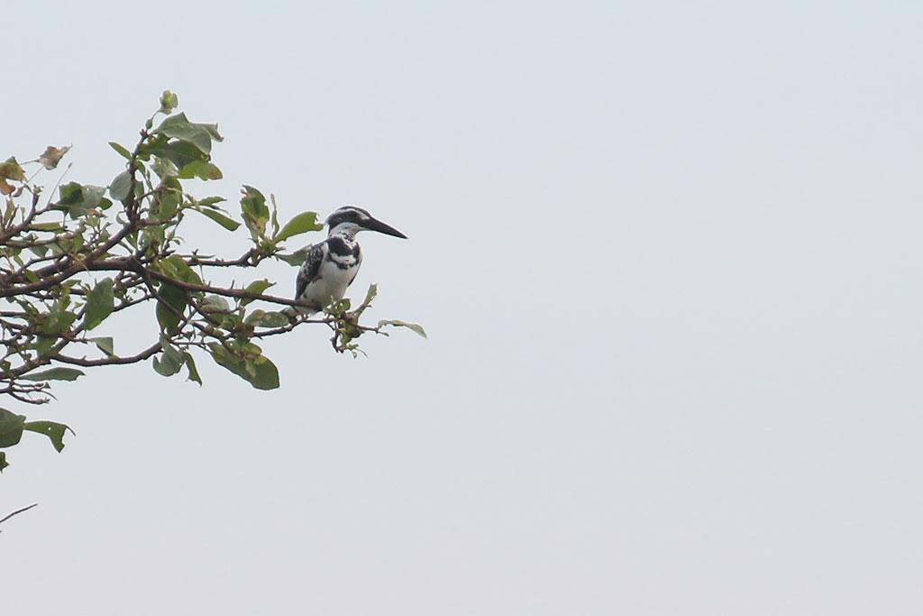 Pied Kingfisher (Ceryle rudis), Mekong River, Kampi, Cambodia.