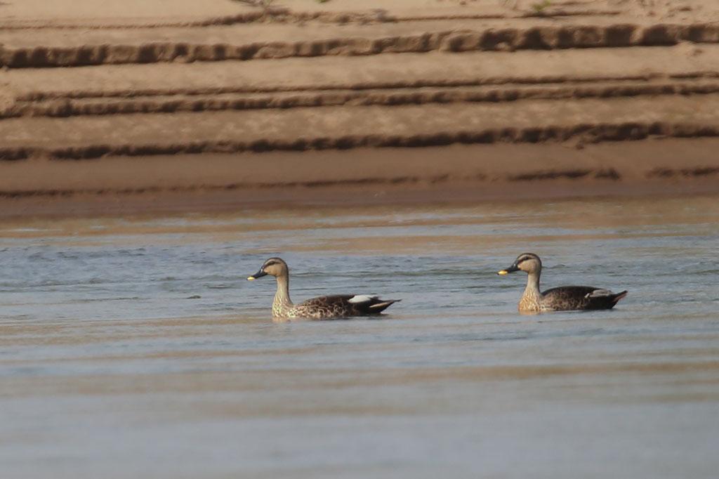 Spot-billed Duck (Anas poecilorhyncha), Mekong River, Kampi, Cambodia.