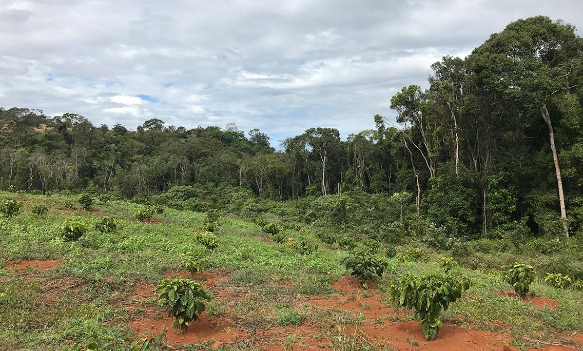 Coffee plantation beside the forest, Dak Dam, Cambodia.