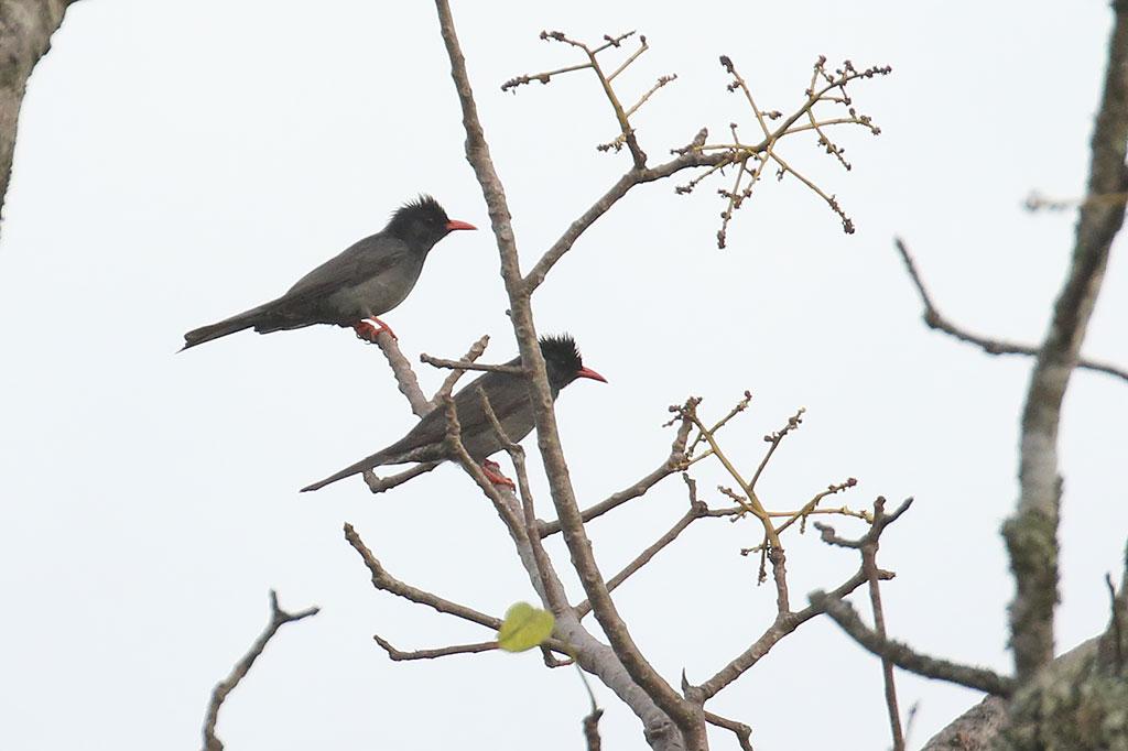 Black Bulbul (Hypsipetes leucocephalus), Dak Dam Forest, Mondulkiri Province, Cambodia.