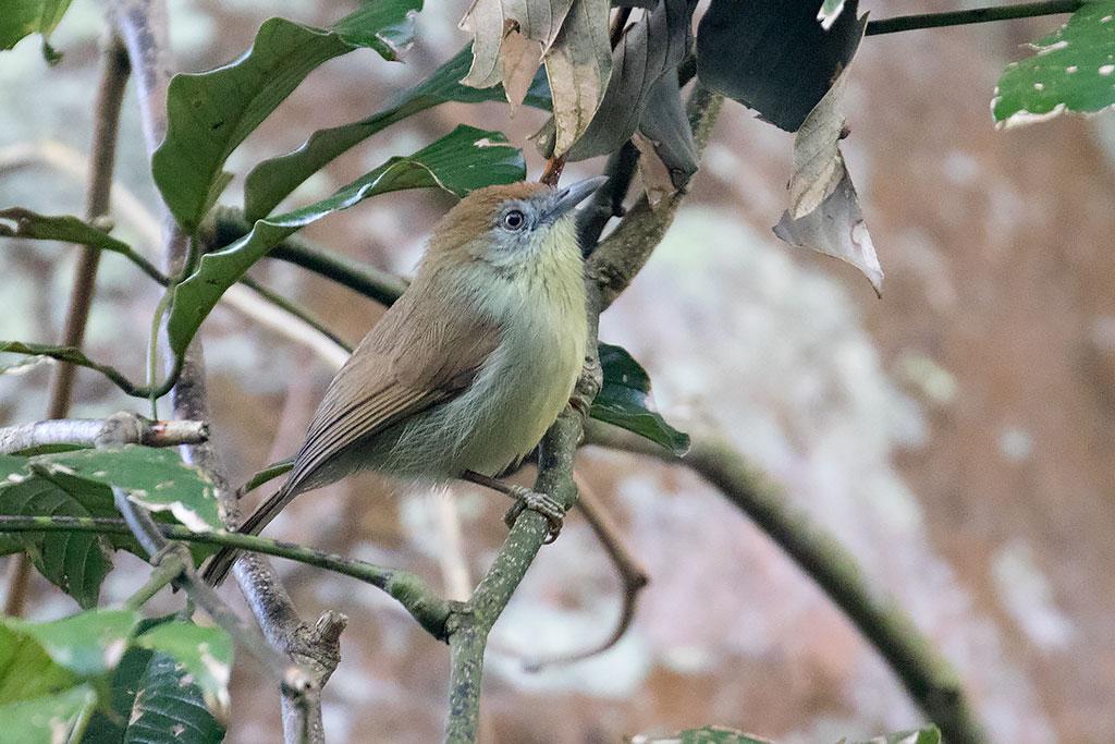 Grey-faced Tit Babbler (Macronus kelleyi), Dak Dam Forest, Mondulkiri Province, Cambodia.