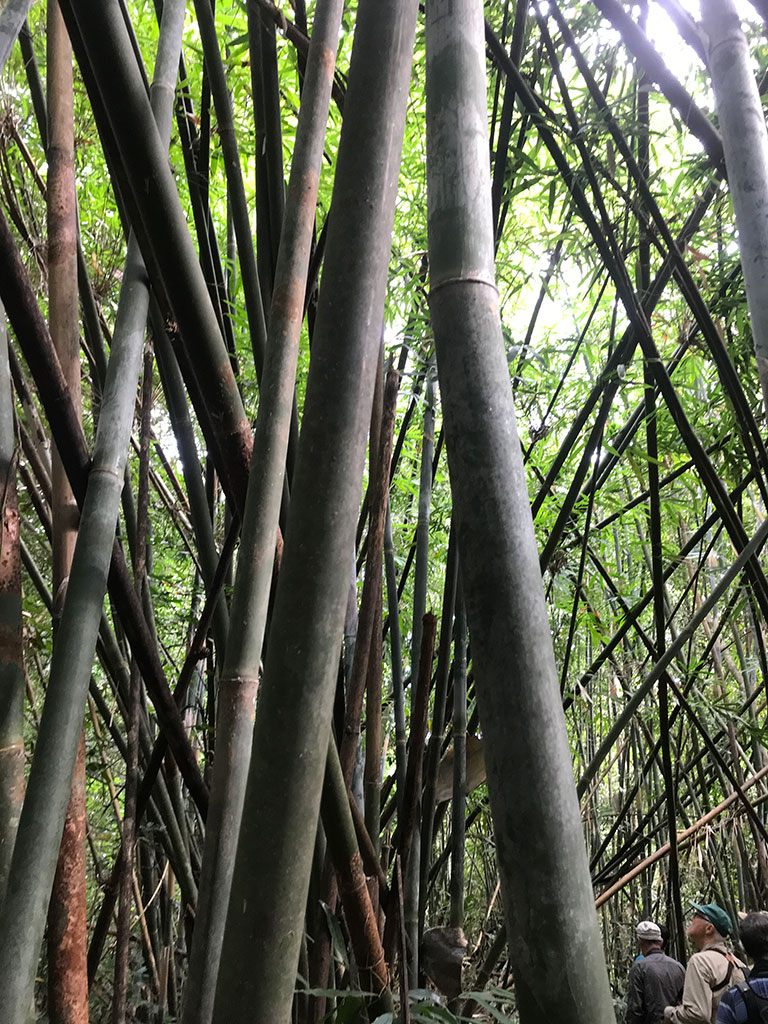 Huge stands of Bamboo in forest near Jahoo Gibbon Camp, Keo Seima Forest, Cambodia.
