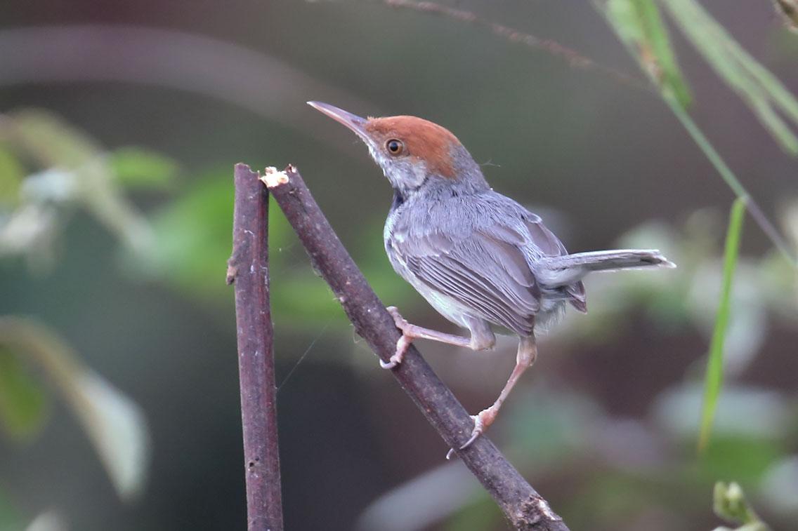 Cambodian Tailorbird (Orthotomus chaktomuk), Near Udong, Phnom Penh, Cambodia.