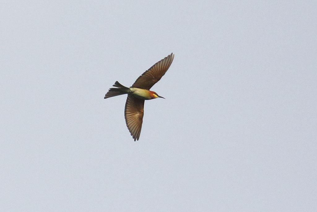 Chestut-headed Bee-eater (Merops leschenaulti), Keo Seima Forest, Mondulkiri Province, Cambodia.