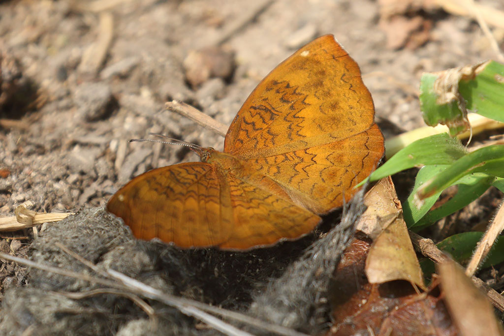 Castor butterfly, Mount Aural, Cambodia.