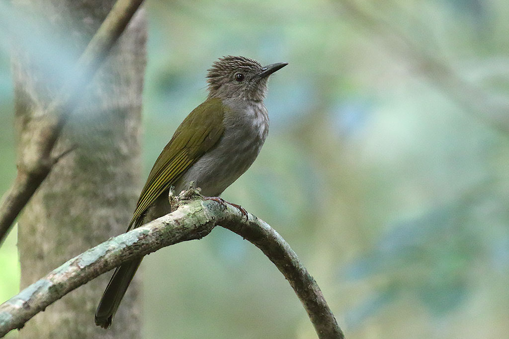 Mountain Bulbul (Ixos mcclellandii), Mount Aural, Cardamom Mountains, Cambodia.