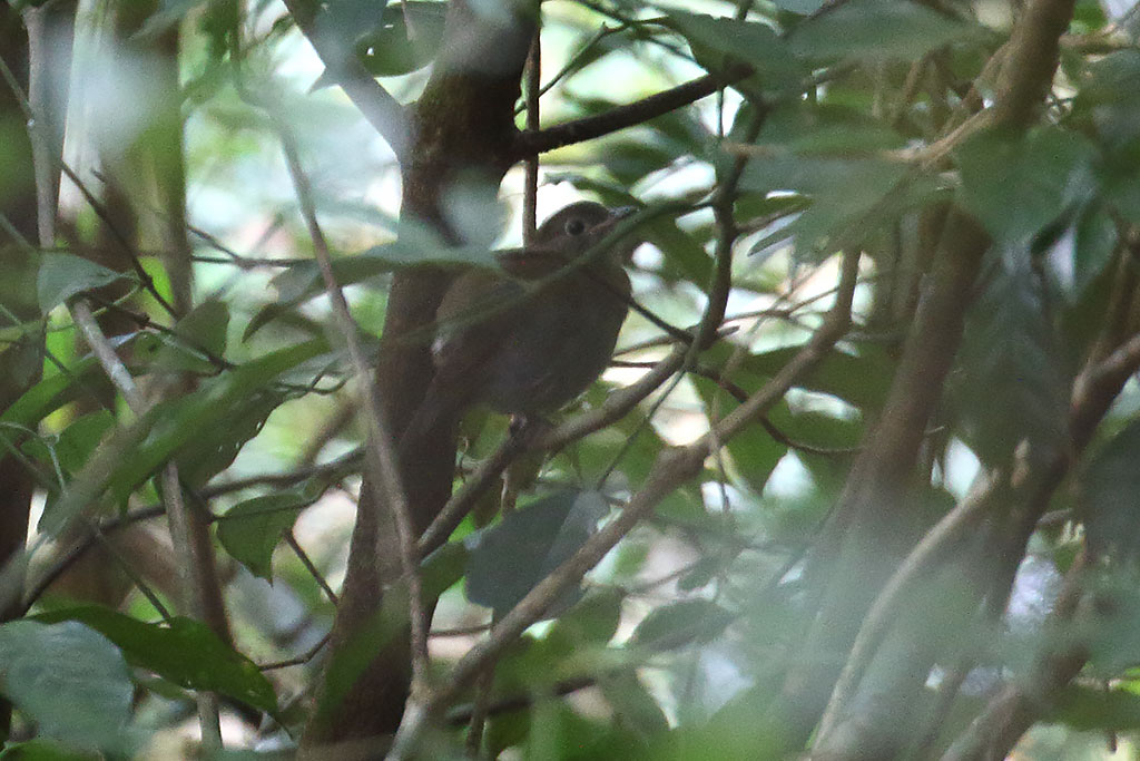 White-tailed Robin (Myiomela leucura), Mount Aural, Cardamom Mountains, Cambodia.