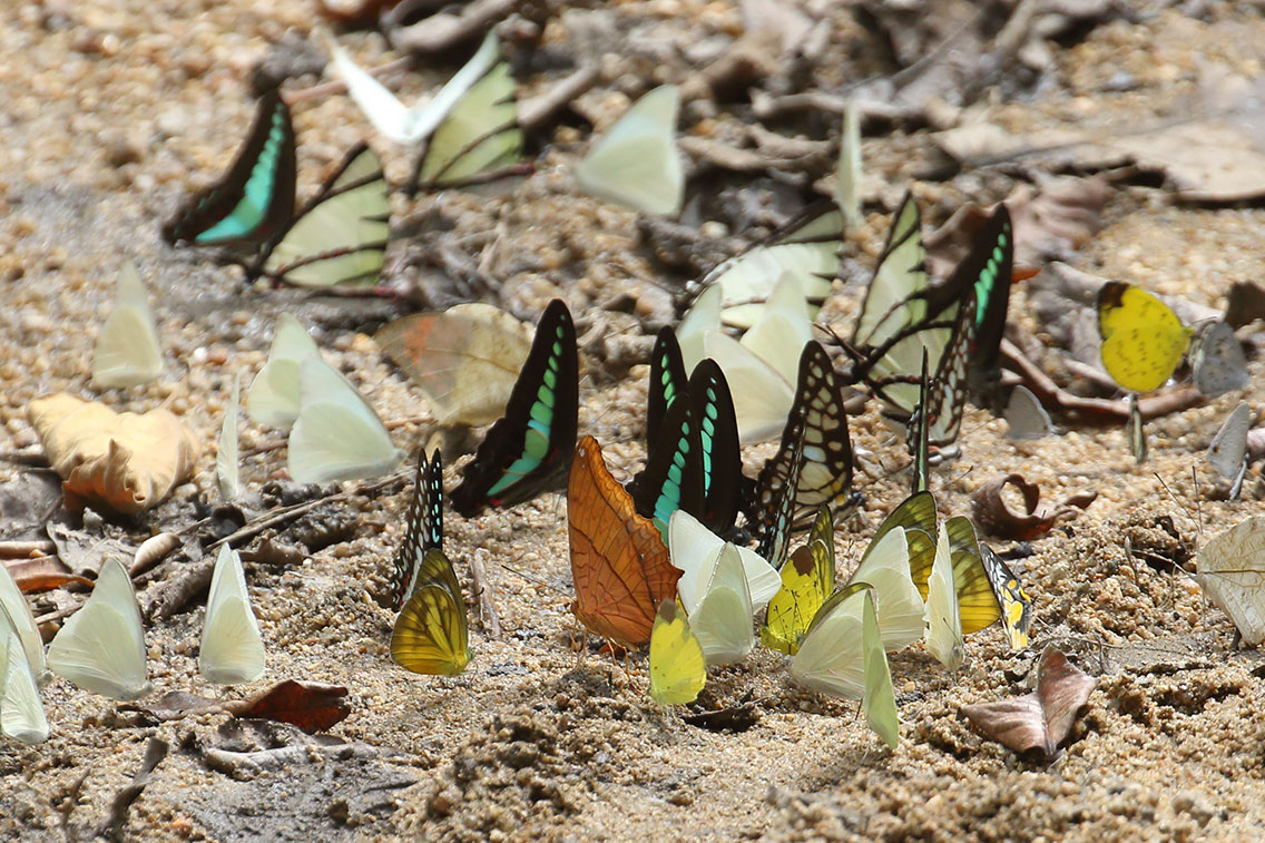 Butterflies including Four-bar Swordtail, Cruiser, Bluebottle and Jay species, Mount Aural, Cambodia.