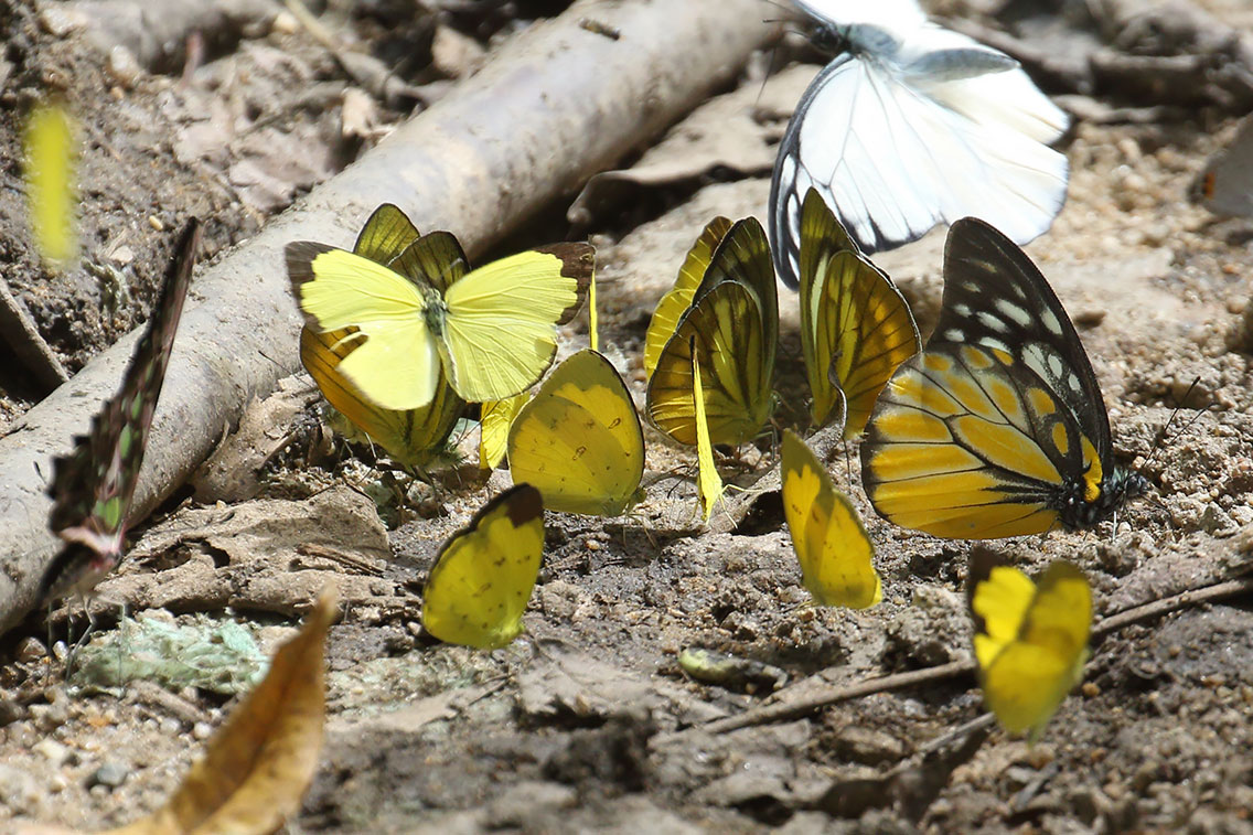 Butterflies including Spotted Sawtooth (right), Mount Aural, Cambodia.