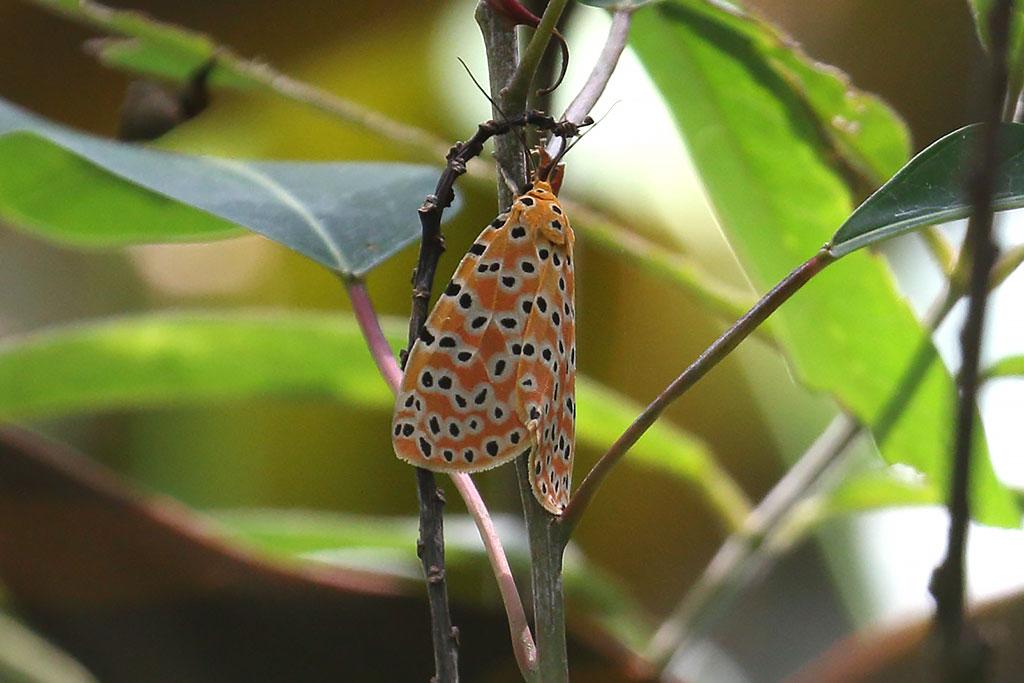 Moth sp., Mount Aural, Cambodia.
