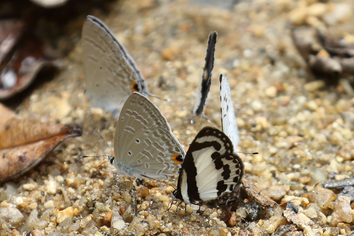 Straight Pierrot butterfly (right) with Blue butterfly sp., Mount Aural, Cambodia.