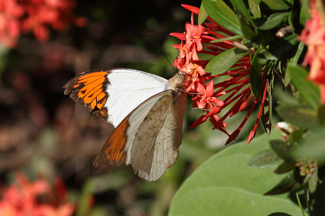 Great Orange Tip butterfly, Ban Na Hin, Laos.